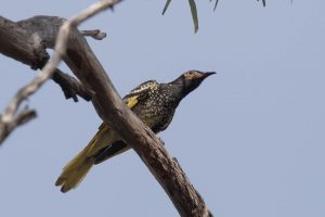 Regent Honeyeater tank by Mark with a very heavy, long lens...